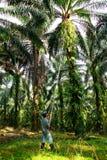 收获油棕榈树 免版税库存图片