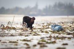 收获海的地方妇女从印度洋除草 库存照片