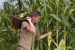 收获玉米的农夫 免版税库存照片