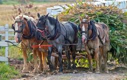 收获玉米的用马拉的无盖货车 免版税图库摄影