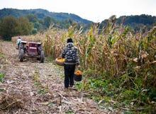 收获玉米的老人 免版税库存照片