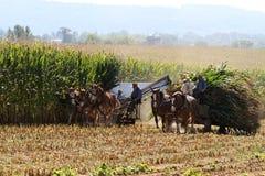 收获玉米的门诺派中的严紧派的人 图库摄影