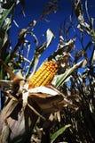 收获玉米 免版税图库摄影