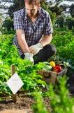收获甜菜根的农夫在菜园庭院里 免版税库存图片