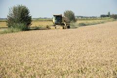 收获的和打谷的米在意大利 图库摄影