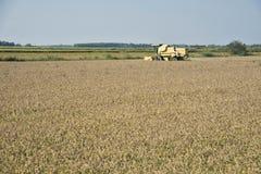 收获的和打谷的米在意大利 免版税库存照片