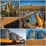 收获的玉米成长和-拼贴画 库存图片