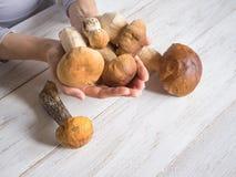 收获秋天可食的蘑菇 在的狂放的便士小圆面包手 免版税库存图片