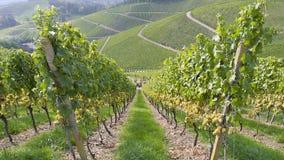 收获秋季wineyard在德国 股票录像
