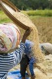 收获稻的域 免版税库存图片