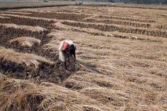 收获米的农夫 库存照片