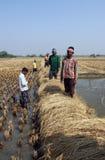 收获米的农夫 图库摄影