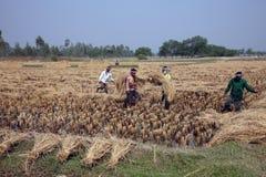 收获米的农夫 免版税库存照片
