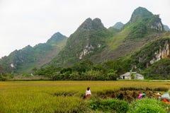 收获米的庄稼越南妇女 免版税库存图片
