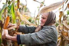 收获纵向前辈妇女的玉米 库存图片