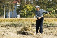 收获老秸杆麦子的农夫 免版税库存照片