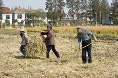 收获老秸杆麦子的农夫 免版税图库摄影