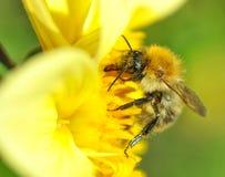 收获花蜜的勤勉蜂 免版税库存图片