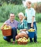 收获苹果的家庭在庭院里 免版税库存照片