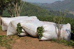 收获茶在美斯乐,泰国。 免版税库存照片