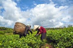收获茶的农夫 免版税图库摄影