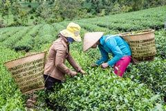 收获茶的妇女 免版税库存图片