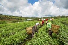 收获茶的妇女 图库摄影