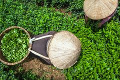 收获茶的妇女 免版税库存照片