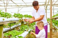 收获草莓的父亲和儿子自温室 免版税库存照片