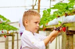 收获草莓的年轻农夫自温室 免版税图库摄影