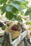 收获莫利洛黑樱桃的孩子 免版税库存照片
