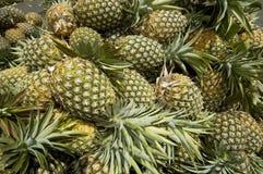 收获菠萝 免版税图库摄影