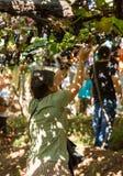 收获葡萄的人们在马德拉岛Wine Company的葡萄园里在马德拉岛酒节在Estreito de Camara de罗伯斯,做 免版税库存照片
