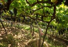 收获葡萄的人们在马德拉岛Wine Company的葡萄园里在马德拉岛酒节在Estreito de Camara de罗伯斯,疯狂 免版税库存照片