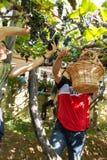 收获葡萄的人们在马德拉岛Wine Company的葡萄园里在马德拉岛酒节在Estreito de Camara de罗伯斯,疯狂 免版税库存图片
