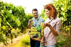 收获葡萄的农夫在葡萄园里 免版税库存图片