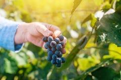 收获葡萄的女性葡萄栽培者在葡萄围场 免版税库存图片