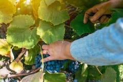 收获葡萄的女性葡萄栽培者在葡萄围场 库存图片