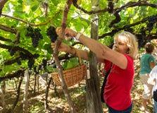 收获葡萄的妇女在马德拉岛Wine Company的葡萄园里在马德拉岛酒节在Estreito de Camara de罗伯斯,做 库存照片