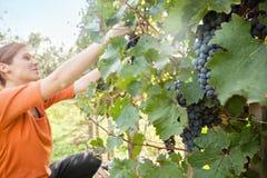 收获葡萄的少妇 库存照片