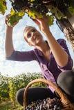 收获葡萄的少妇 免版税库存图片