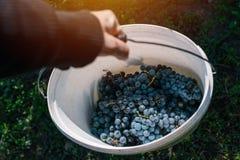 收获葡萄的男性葡萄栽培者在葡萄围场 库存图片