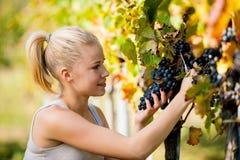 收获葡萄的美好的年轻白肤金发的woamn在葡萄园里 免版税库存照片