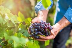 收获葡萄的蓝色衬衣的老人在庭院里 免版税库存照片