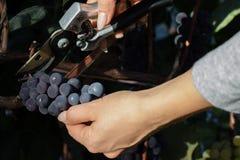 收获葡萄酒酿造的少妇黑葡萄 免版税库存图片