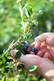 收获蓝莓的农夫 免版税库存图片