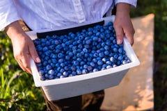 收获蓝莓的农夫 免版税图库摄影