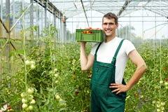 收获蕃茄的农夫 库存图片
