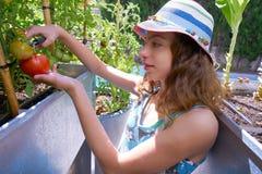 收获蕃茄的女孩在桌果树园 免版税库存照片