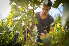 收获藤葡萄的英俊的年轻葡萄酒商人在他的葡萄园里 免版税库存图片